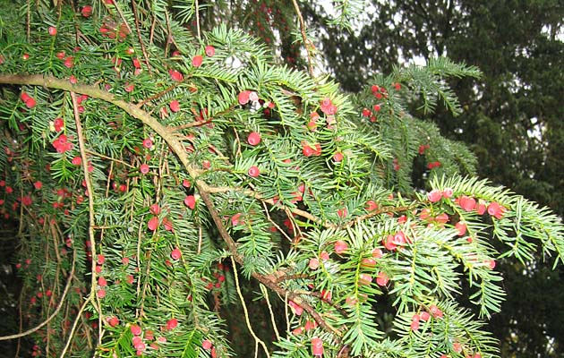 Poisonous plants for horses for Garden yew trees