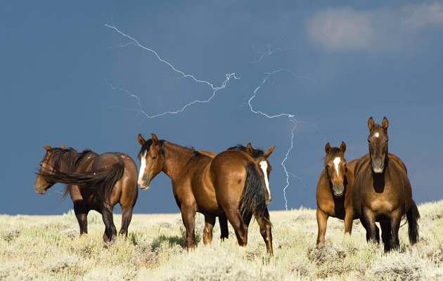 DDHRCK Mustang herd, stallions, in front of a stormy sky with lightning
