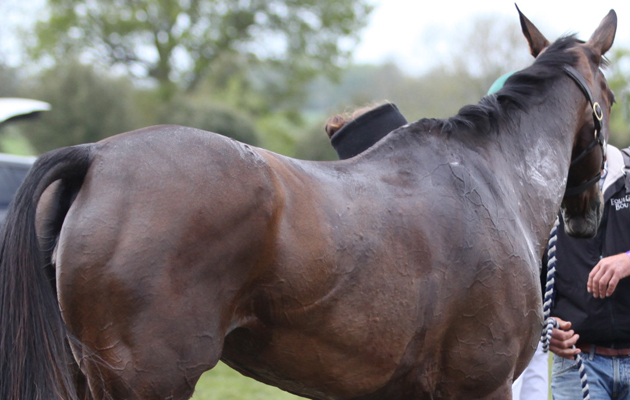 Horses lose electrolytes when they sweat
