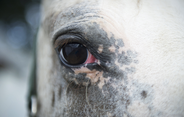 Appaloosa types appear susceptible to equine recurrent uveitis