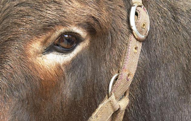 donkey smuggling