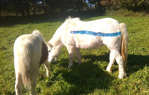 painted dartmoor ponies3