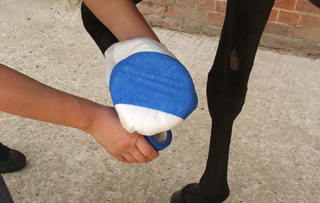Poulticing a hoof abscess