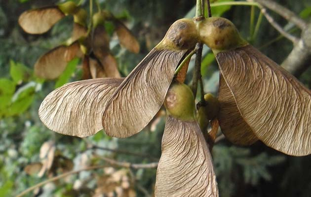 Sycamore seeds are liked to the fatal condition Atypical Myopathy
