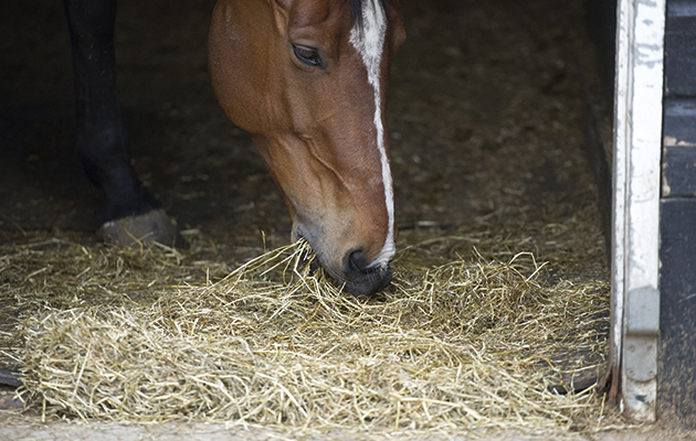 eating hay from the floor