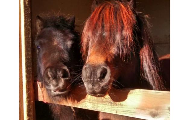 RSPCA AB FAB pony