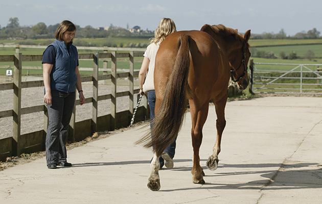 A horse being vetted prior to purchase