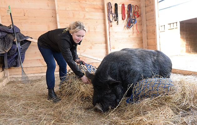Sarah Parker trying to fill the hay nets without upsetting Percy the yard pig at Sarah & Simon Parker's yard at Glebe Farm in Bronington near Whitcurch in Shropshire, UK on the 1st March 2016