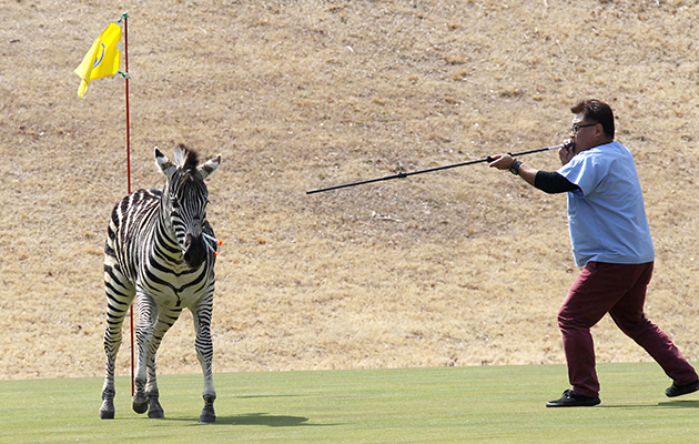 A runaway zebra is shot with a blowgun loaded with anesthetic on a golf course in Toki, Gifu Prefecture, in central Japan on March 23, 2016. The 2-year-old stallion escaped from an equestrian club the previous day and ran onto the golf course, where he was tranquilized and fell into a pond. By the time police officers extracted the animal from the pond, it was already dead, apparently due to drowning. (Kyodo) ==Kyodo