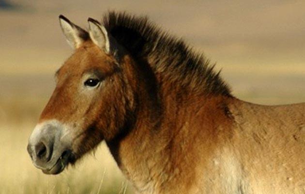 Prezewalski horse