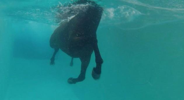 Can horses swim