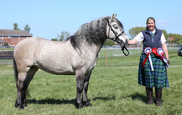 Lady Skye of Auchengarth - Highland Pony Champion at Ayr County Show 2016
