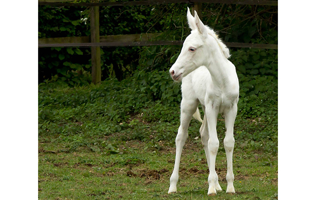 Showjumping Yard Shocked By Birth Of White Mule Horse Hound