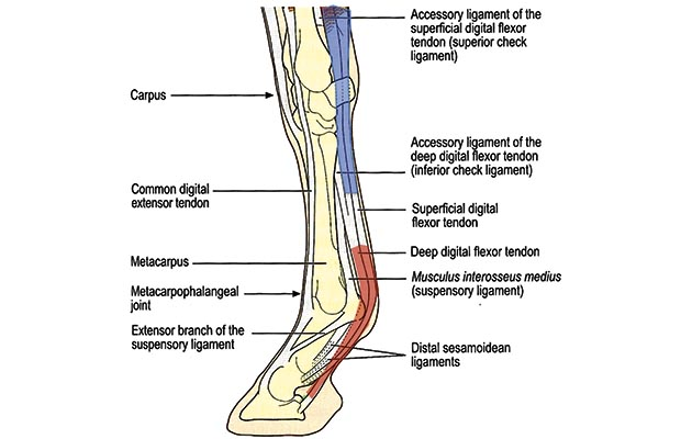Where it changes direction around a number of joints that flex and extend,  the tendon is under compression and is surrounded by structures known as  tendon ...