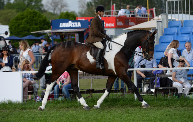 Jayne Ross riding Aidensfield Rupert, Champion in the Coloured Ridden Championship during Thursday of the Royal Windsor Horse Show, in the grounds of Windsor Castle in Windsor in the county of Berkshire, UK on 12th May 2016