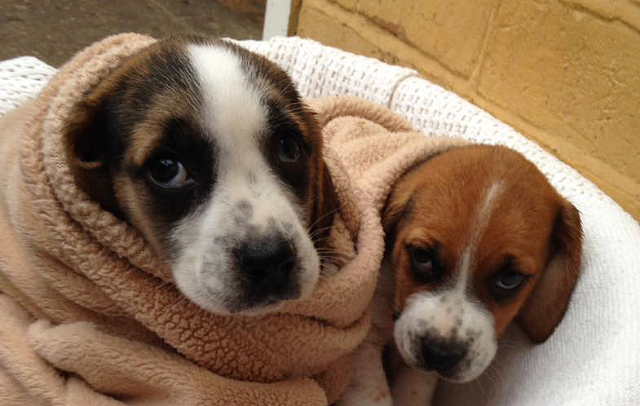 5a514fa63d Four tiny basset hound puppies stolen from kennels - Horse   Hound