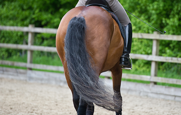 horse rear end and tail