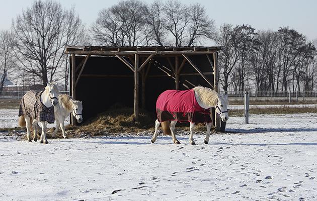 Muenchehofe, Camargue-Pferde laufen eingedeckt im Winter ueber die schneebedeckte Koppel
