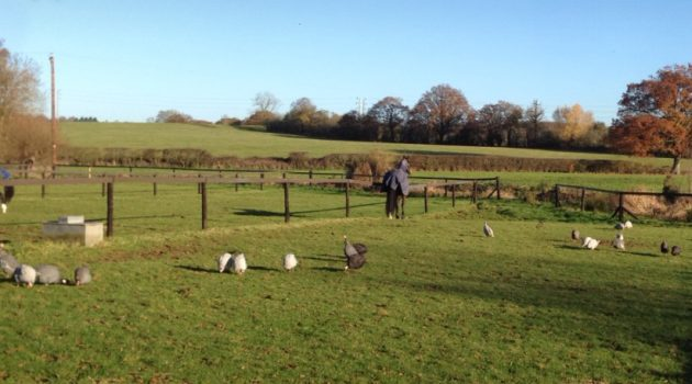 Horses chilling with guinea fowl