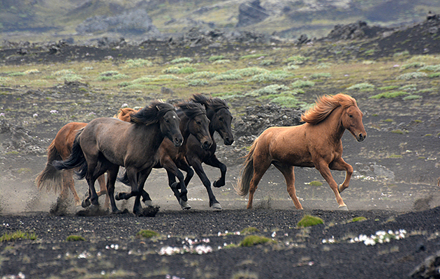 what s in a name rules on naming icelandic horses make headlines