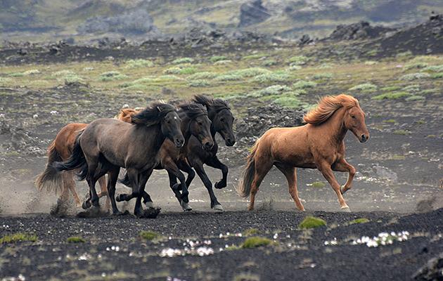 icelandic horse name