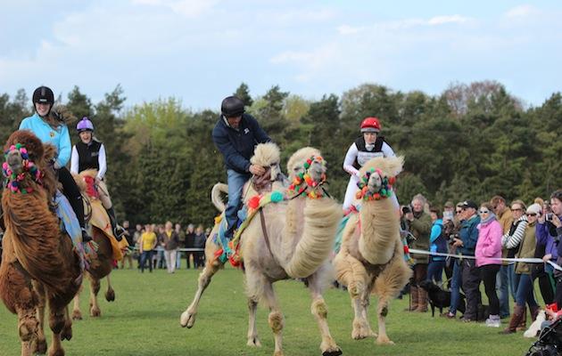 Bill Levett camel racing