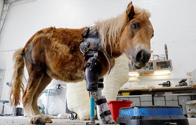 outcry over three legged pony fitted with prosthetic limb
