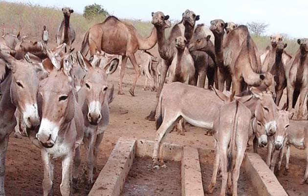 Terrible Thirst Of 14 000 Donkeys In Dire Need Quenched By
