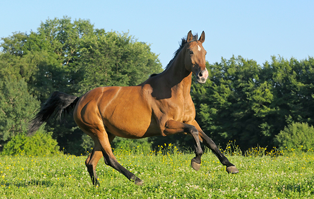 C94NTH Oldenburg breed horse galloping in the field