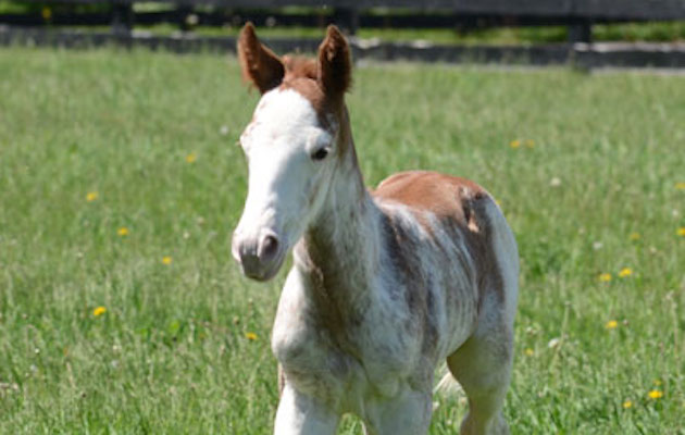 white coloured racehorse