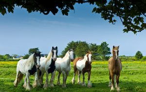BWG2RR Traditional Irish painted shire horses, skewbald and piebald in buttercup meadow near Kilmore, Ireland