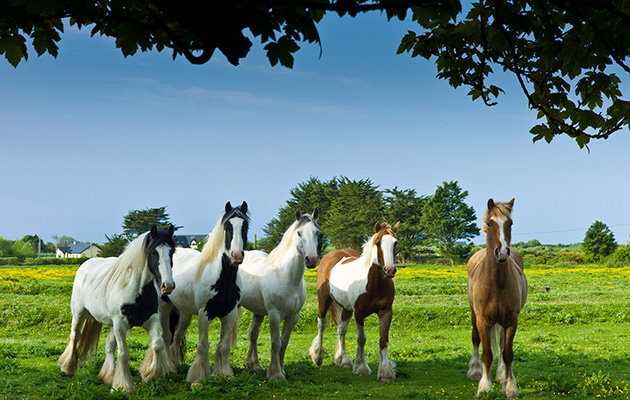 Are buttercups poisonous to horses?
