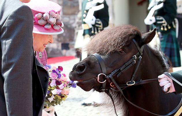 shetland queen flowers