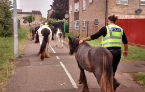 loose ponies Peterborough