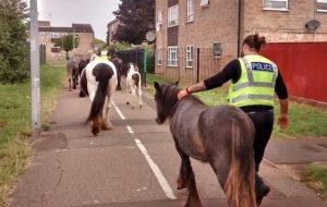 loose ponies Peterborough