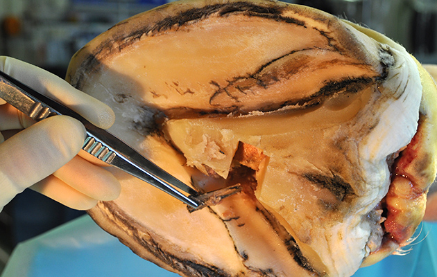 vet foreign body removal 05 10 2017 issue Wood FB fragment removed from foot at surgery 2