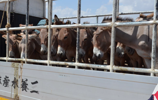 Brutal Donkey Skin Trade Threatens Population Horse Amp Hound