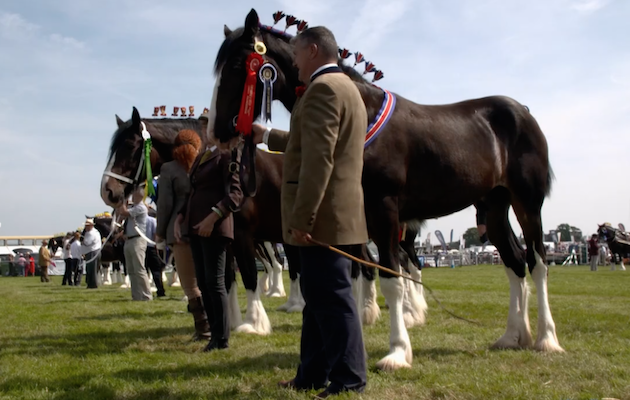shire horses The Farmer's Country Showdown