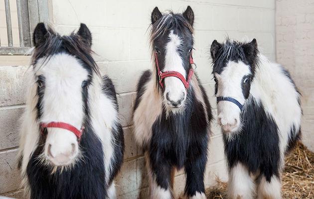 tennis court ponies