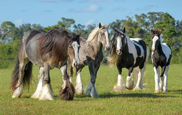 GJF9JN Curious Gypsy Vanner horse mares and foals in open green paddock