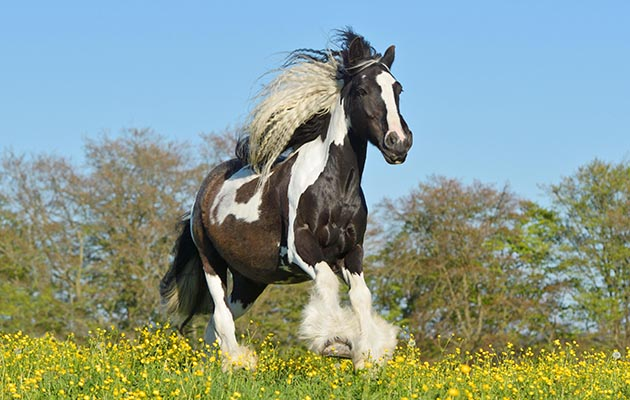 K8R52X Irish Cob horse cantering in the field