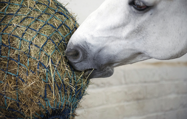 DO NOT USE IN NEGATIVE CONTEXT horse eating haynet with hay and haylage mixture