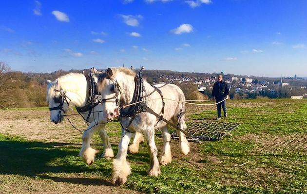shire horses hampstead heath