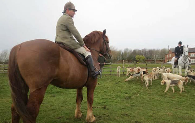 Rare Suffolk stallion makes his hunting debut