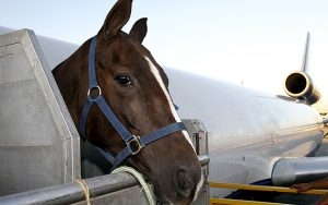 race horse is loading to the airplane to export in sao paulo, brazil