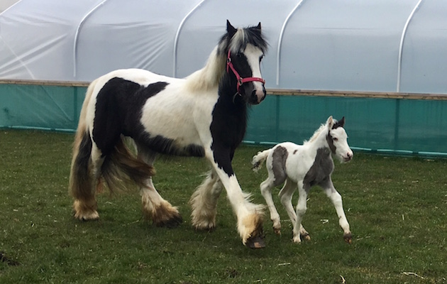 abandoned tethered mare healthy foal