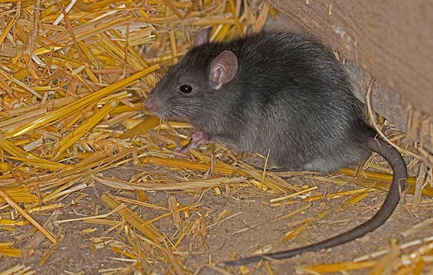Rumored Buzz on Best Rat And Mouse Poison