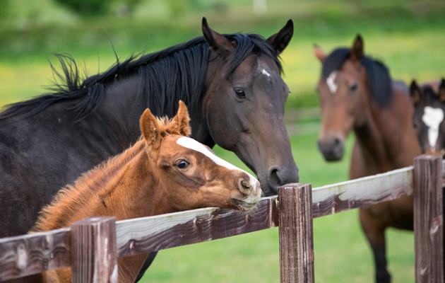 English thoroughbred horse and foal