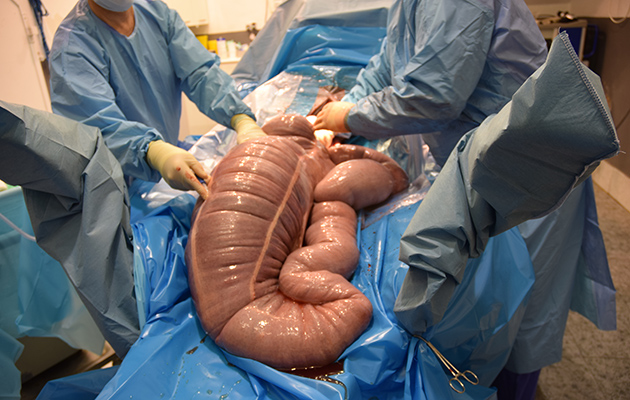 A horse's gut undergoing surgery in a case of sand colic
