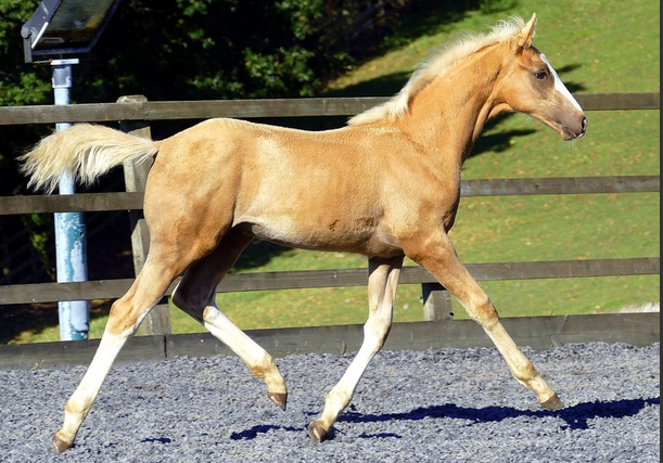 palomino horses and ponies for sale